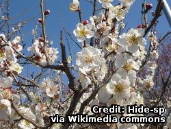 Prunus_mume_G01_via_wikimedia_commcons.jpg