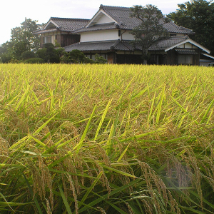 Rice_field_on_Japan_20070829-thumb.jpg