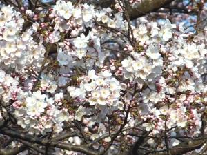 八分咲きのソメイヨシノ(ビデオからのキャプチャ画像です) by Chikuzen-ya hompo - この 作品 は クリエイティブ・コモンズ 表示 4.0 国際 ライセンスの下に提供されています。